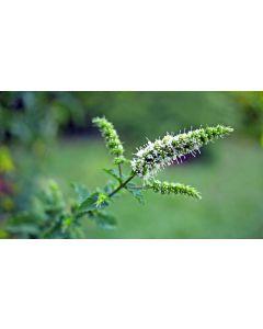 Peppermint Oil Piperita