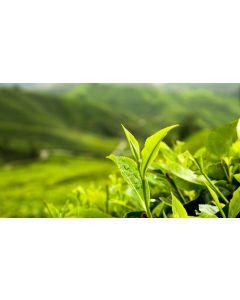 Green Tea Extract 95/70