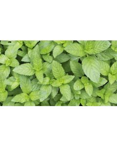 Peppermint Oil Arvensis