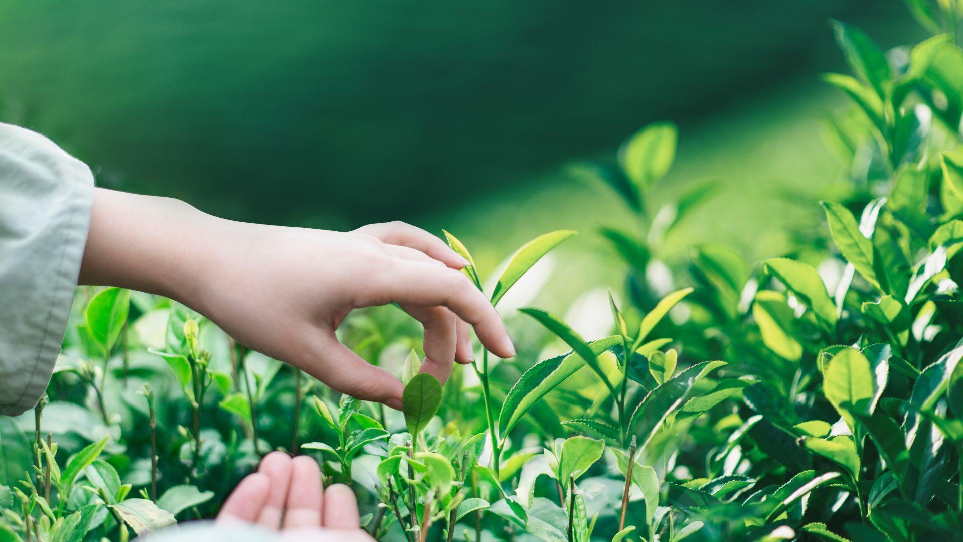 Green Tea Extract 40%