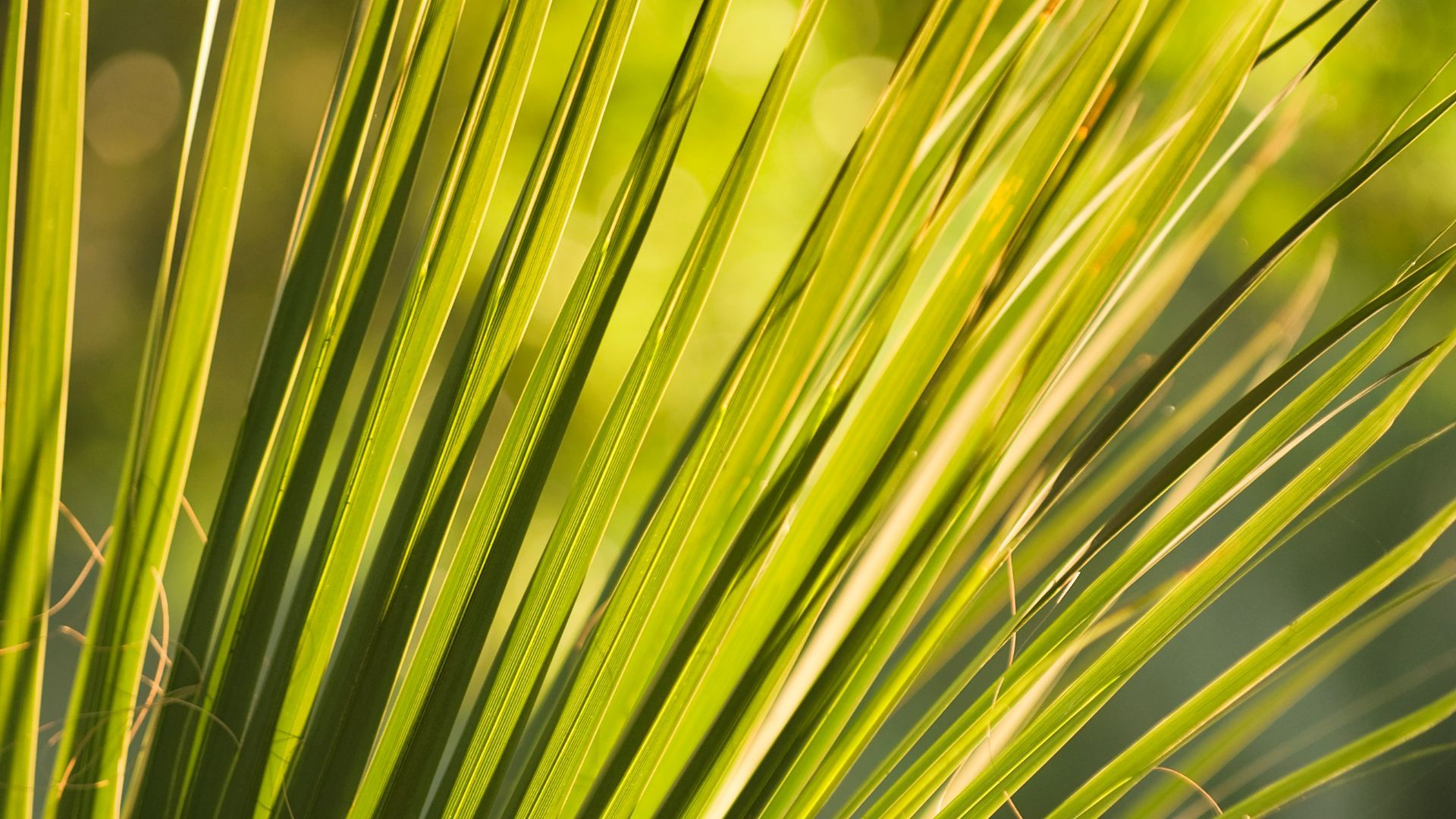 Saw Palmetto Extract