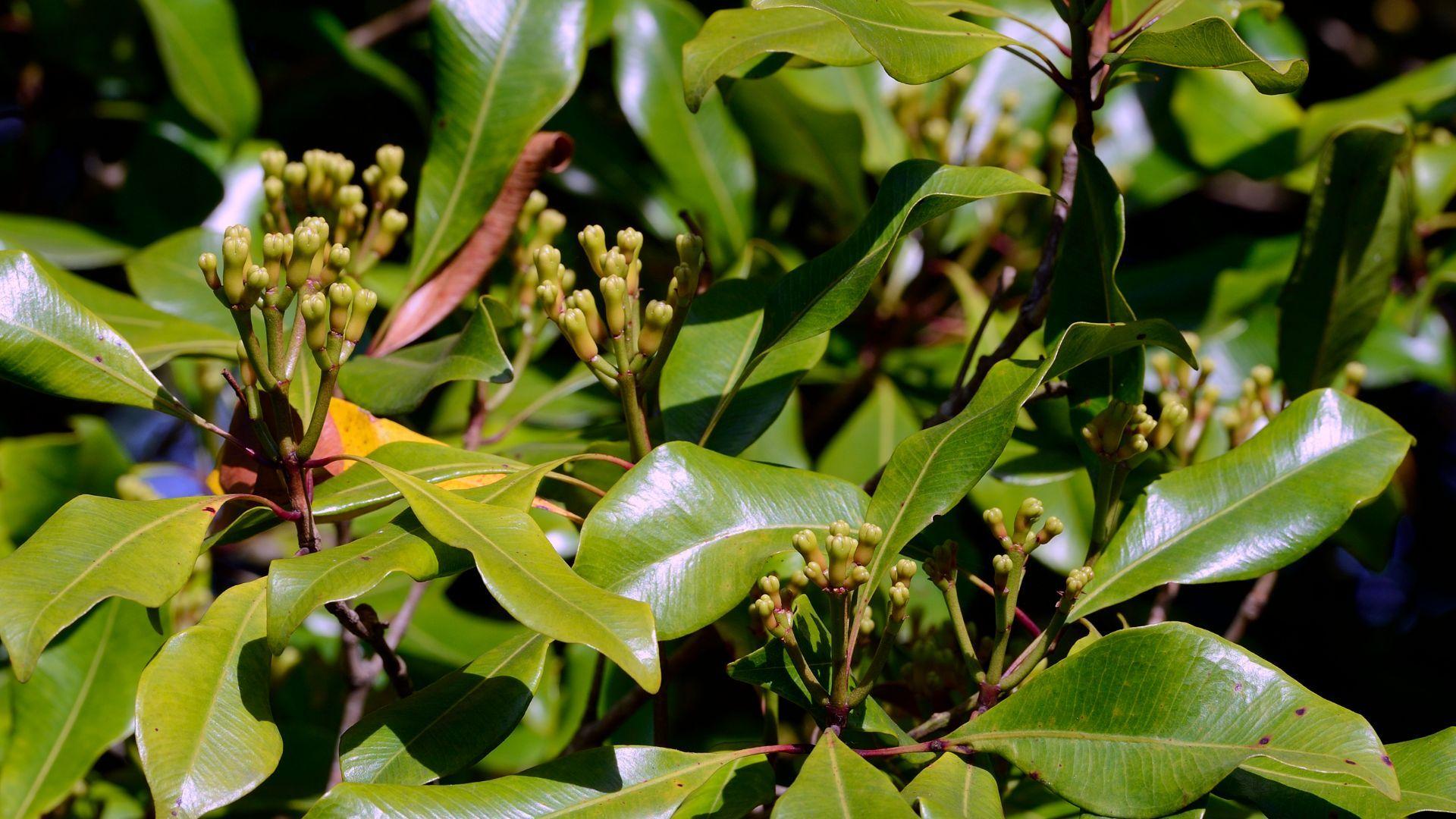 Clove Leaf Oil